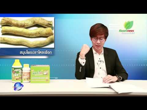 รอบรู้ข่าวเกษตร14 สมุนไพรปลาไหลเผือก