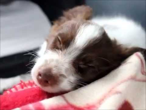 Sayde - first month with chocolate papillon puppy
