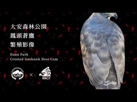 2020大安森林公園鳳頭蒼鷹巢位直播 Crested Goshawk Nest Cam, Taipei, Taiwan