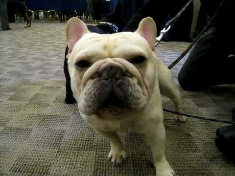 Frenchies at Westminster Dog Show