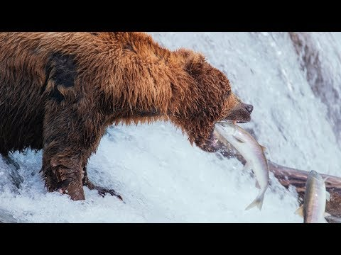 Brown Bears Of Katmai | Alaska Day 8 | Brooks Falls To Anchorage