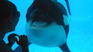 Tilikum Opens Wide For The Camera in 1080p HD~SeaWorld Orlando