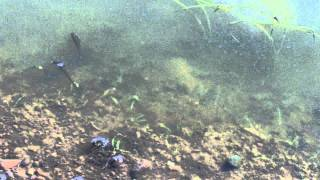 Tadpole Shrimp in Rice Fields