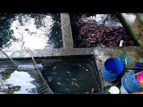 Tilapia Breeding Pond Fry Nursery