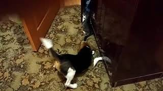 Бигль Роки дружба с котом 2