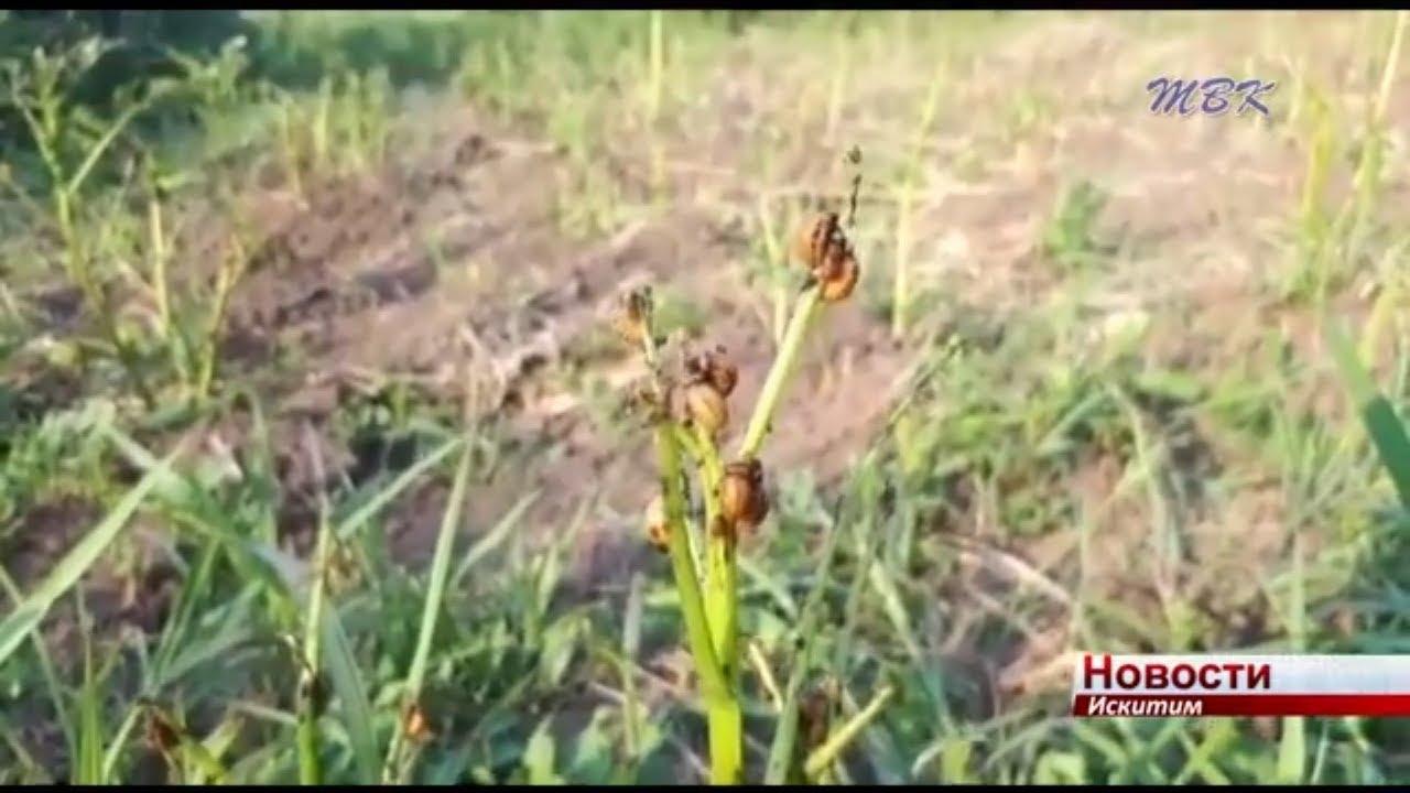 Нашествие колорадского жука. Как искитимцы борются с вредителем?