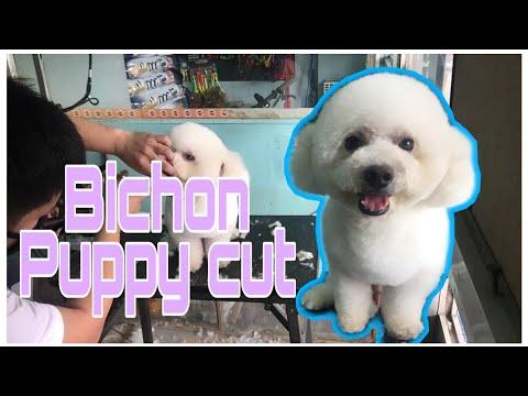 Bichon Puppy Cut by Mr Groomer🐶
