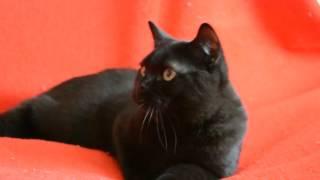 Купить шотландского котенка: предлагаем -  Чистокровные клубные шотландские черные котята.