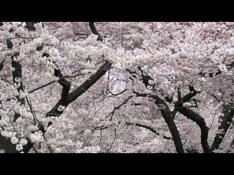 Melody Only -- Loveliest of Trees