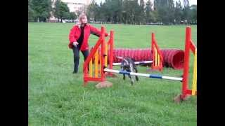 German Shorthaired Pointer Lukas At Agility Classes