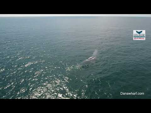 Blue Whales return to Dana Point