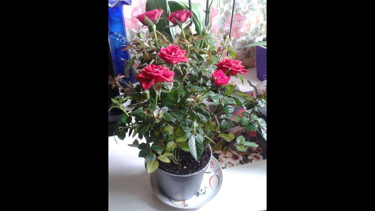 Фото цветка домашняя роза 5