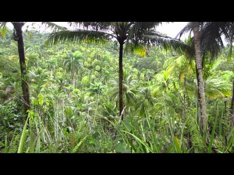 Cuba - Alejandro de Humboldt National Park - Jungle sounds -