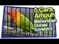 5 Cara Praktis Menambah Durasi Lovebird