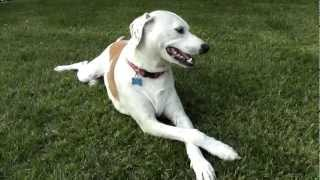 Lemon Dalmatian Willie With Legs Crossed On Grass