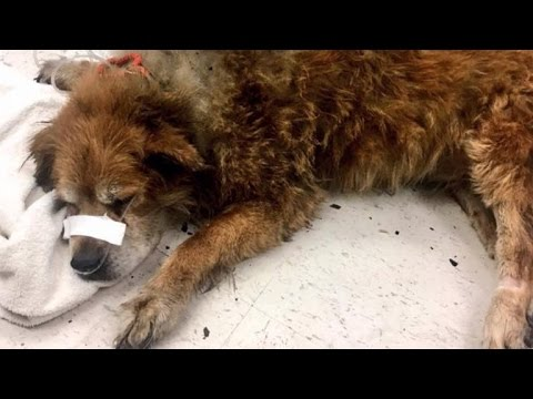 Firefighters Discover Hero Dog Lying On Top Of Owner To Protect Her From Fire