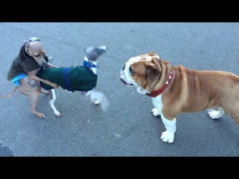 Rudy meets Italian greyhounds