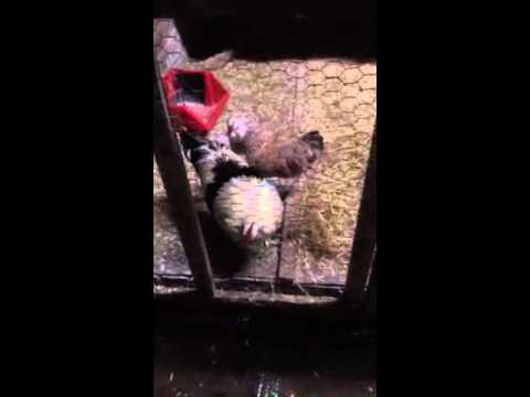 Manor Farm Poultry- Follow up on incubation