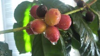 Как вырастить кофе дома. Сад и огород на подоконнике. Худеем с помощью кофе