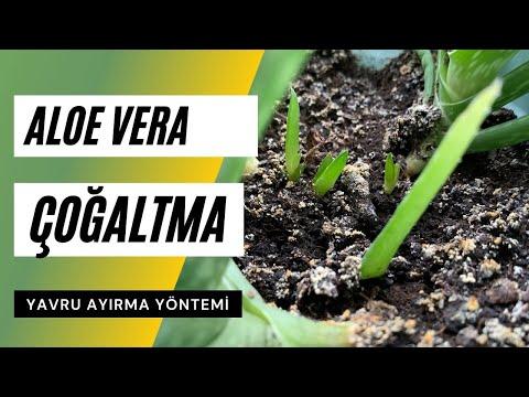 Aloe Vera nasıl çoğaltılır? Yavru aloe vera nasıl ayrılır?