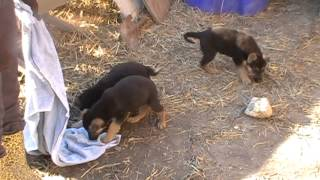 Akc German Shepherd Pupppies Feb 28 2014 For Sale