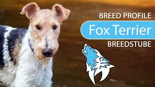 Fox Terrier [2020] Breed, Temperament & Training