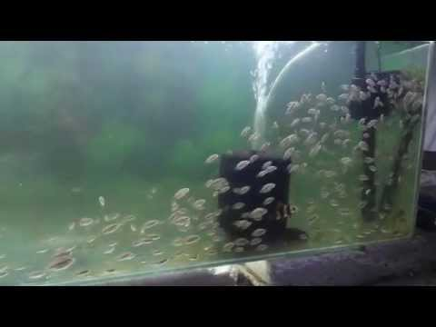 Asiatic Schooling with FlowerHorn Fish fry.