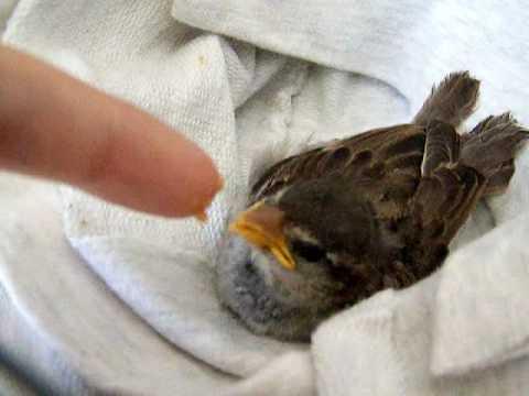 Feeding baby House Sparrow