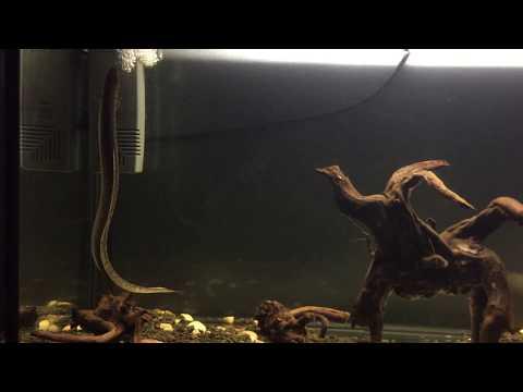 Freshwater eel in fish tank
