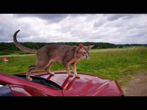 Abyssinian cat @ Jaguar XE