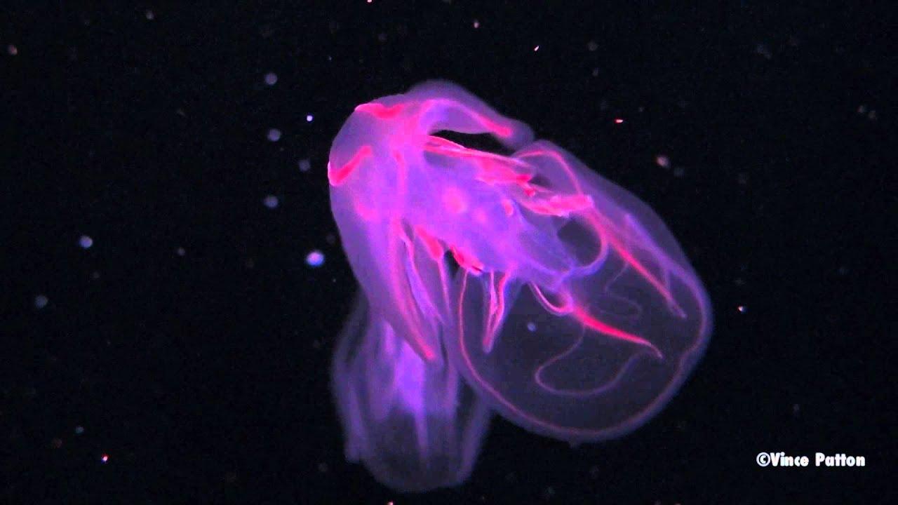 Bioluminescent jellyfish youtube - Bioluminescent aquarium ...