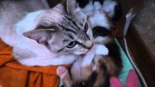 Кошка помогает воспитывать котят от другой кошечки. Милейшее видео.