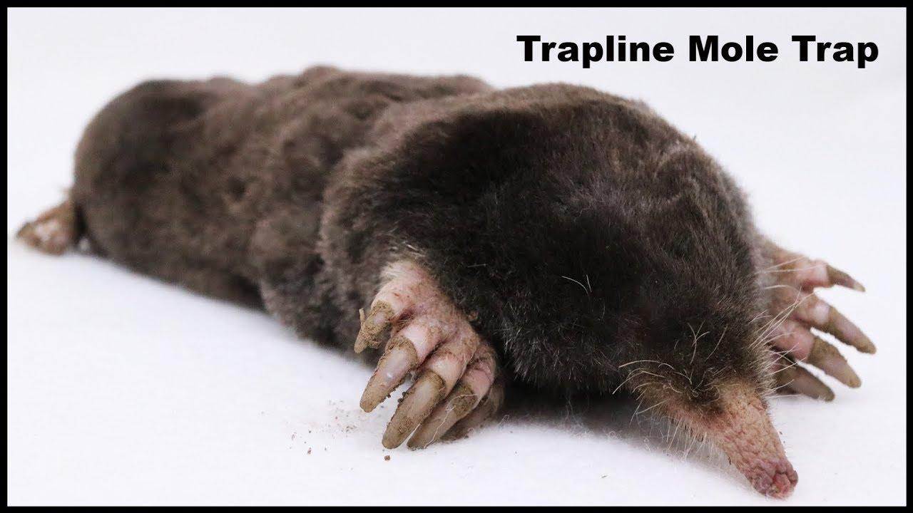 how-to-catch-moles-with-the-trapline-mole-trap-mousetrap-monday