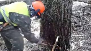 Валка тополей в Черниговской обл.с. Сосница(, 2013-02-11T08:36:30.000Z)