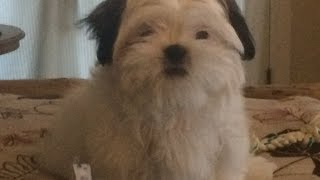 Potty Training Shih Tzu New Play Pen Shih Tzu Puppy