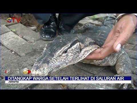 Biawak Raksasa Ditangkap Warga Di GOR Sunter - BIP 20/02