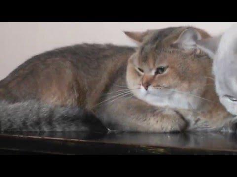 25.01.2016 Golden  British  cat