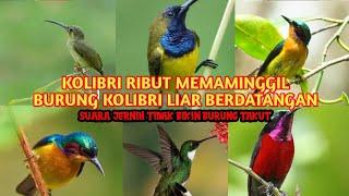 Download Lagu SUARA PIKAT KOLIBRI RIBUT,MENGUNDANG KOLIBRI LIAR BERDATANGAN mp3