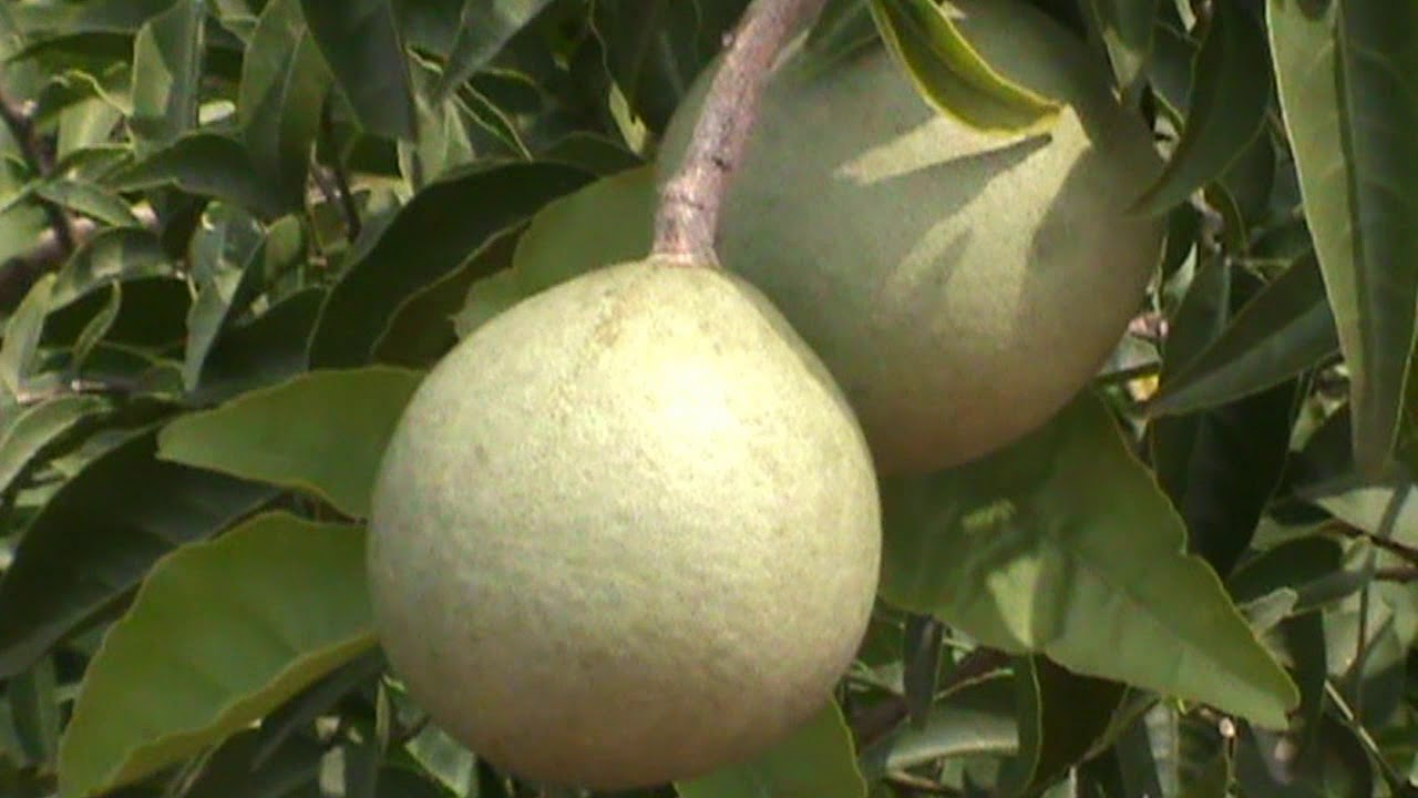 20 Aegle Marmelos Seeds Bengal Quince Stone Apple Golden Apple Bael Seeds