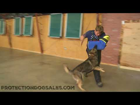 Zita von Prufenpuden 2 Yr's Obedience/Protection Trained Personal Protection Dog