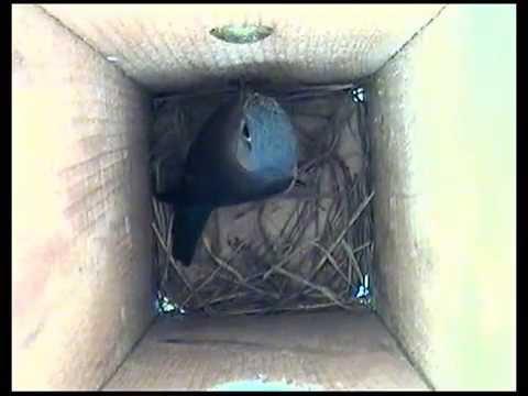 How the Female Bluebird Builds Her Nest