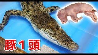 東京都八王子市にある爬虫類ショップ、RACさんでイリエワニへの餌やりを...
