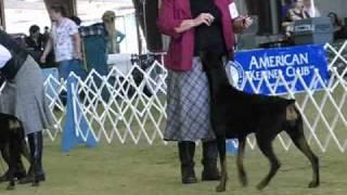 Doberman Pinscher Open Black Bitches Houston Dog Show 3-20-11