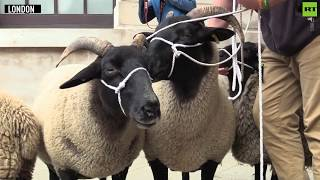 Baa Baa Brexit: People's Vote bring sheep to anti-Brexit demo