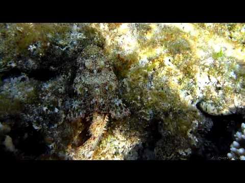 Tassled scorpionfish. Red Sea 2010-11 m2t