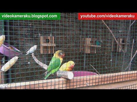 Lovebird Sounds 1 Hour High Quality Live Recording V4