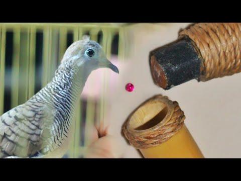 Burung PERKUTUT LOKAL Di LOLOH Mustika MERAH DELIMA || Apakah Akan Jadi MISTERI..!!