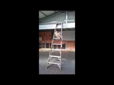 Cat Climbing a ladder - PoathCats / PoathTV / Floppy Ragdoll Cats