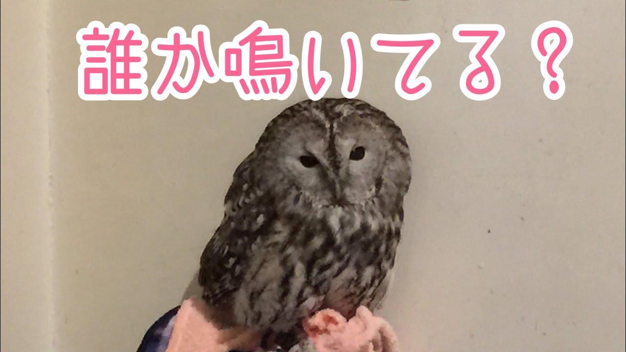 【フクロウの日常】まったりモリちゃん、ヒナちゃん。