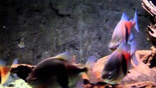 Myleus schomburgkii widebar